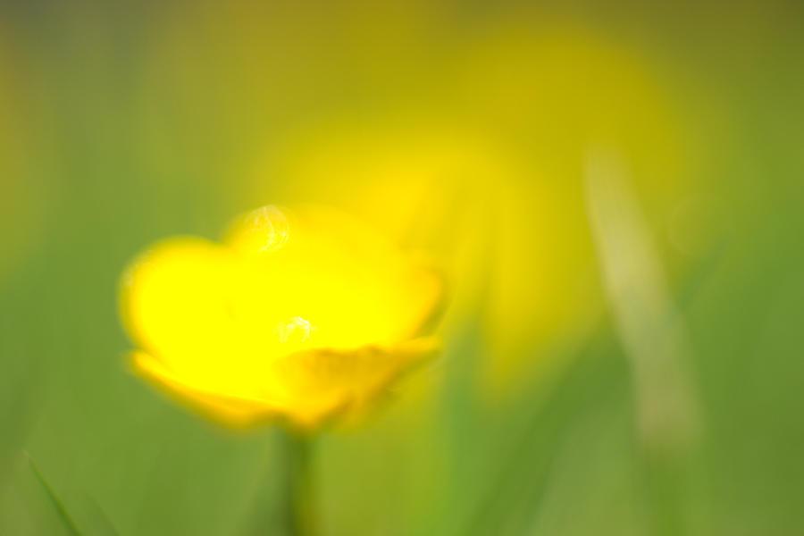 Buttercup Photograph - Buttercup by Tony Serzin