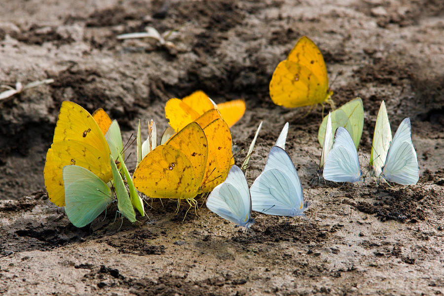 Butterflies Eating Minerals Photograph