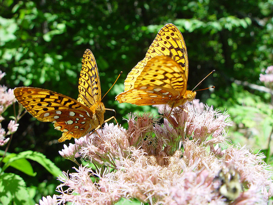 Nature Photograph - Butterflies by Eric Workman