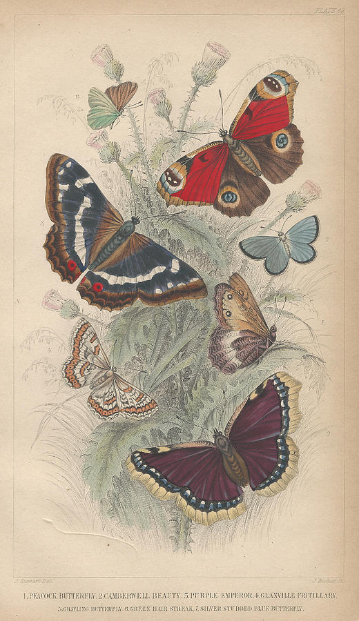 Goldsmith Drawing - Butterflies by Dreyer Wildlife Print Collections