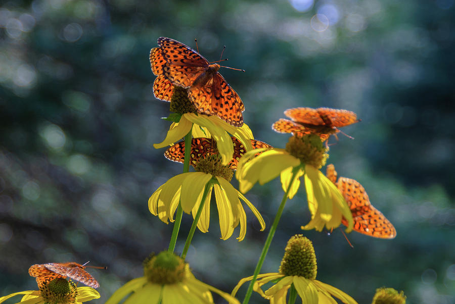 Butterflies On Yellow Flowers Photograph