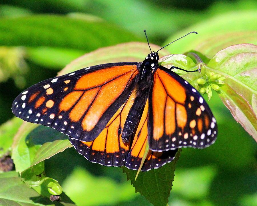 Butterfly 1 by John Olson