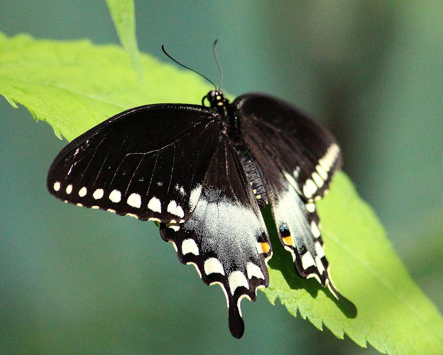 Butterfly 4 by John Olson