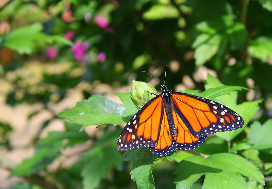Butterfly Photograph - Butterfly by Allison Whitener