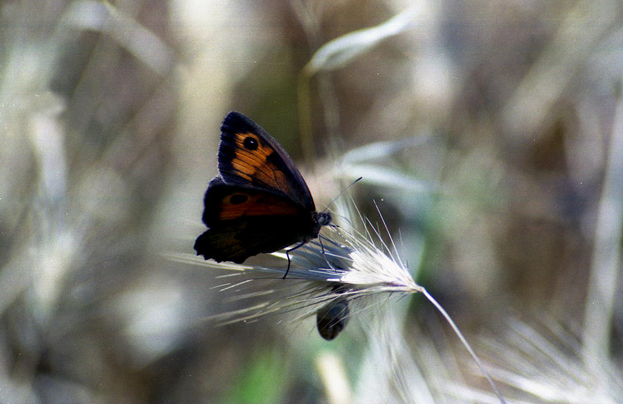 Butterfly Photograph - Butterfly by Anastasia Fragkou