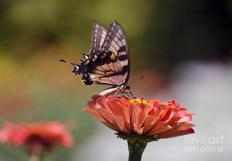 Butterfly Photograph - Butterfly And Orange Zinnia by Terri Winkler