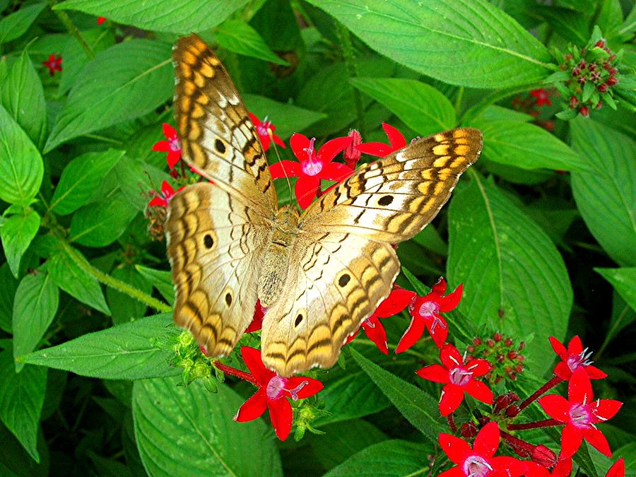 Butterfly Photograph - Butterfly And Red Star Sprig by Caroline  Urbania Naeem
