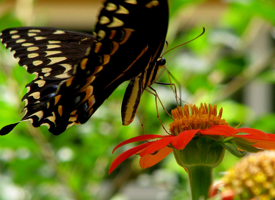Butterfly Photograph - Butterfly And The Flower by Dottie Dees