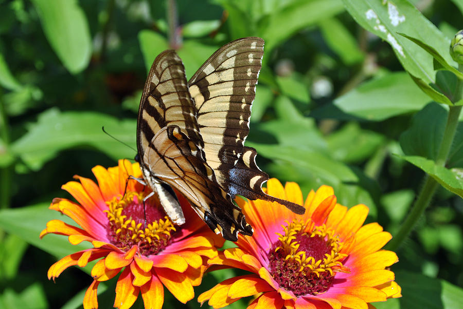 Nature Photography Photograph - Butterfly Beauty II by Elizabeth Del Rosario-Baker