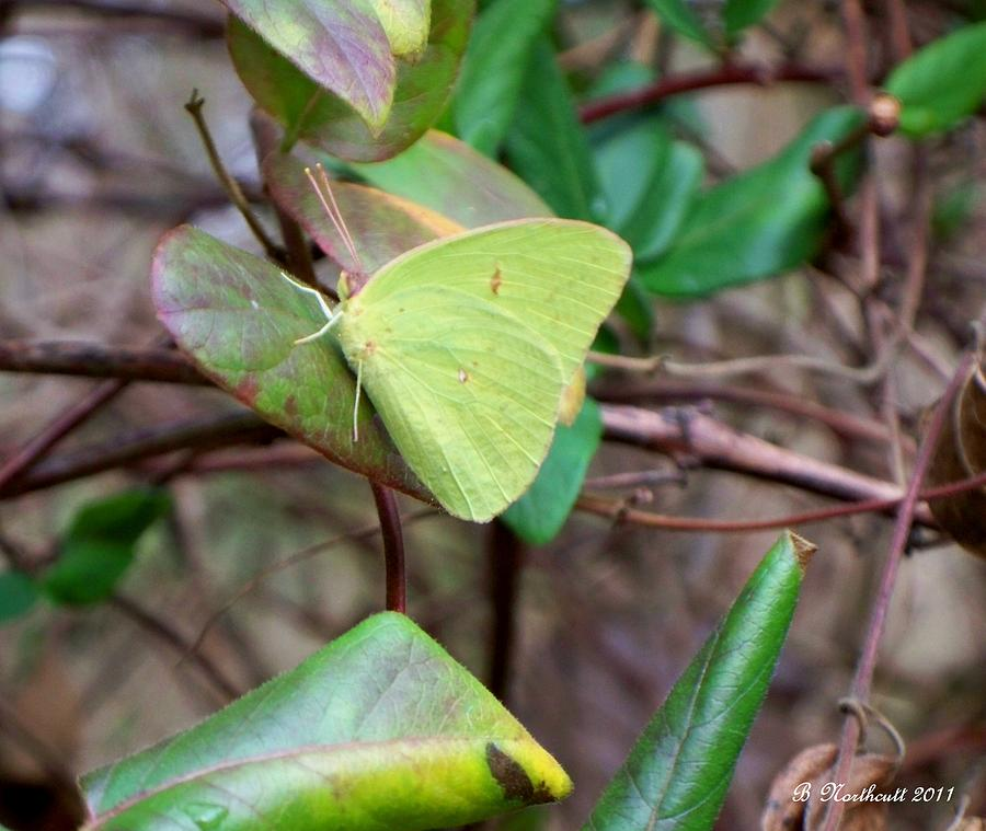 Butterfly Photograph - Butterfly Camouflage by Betty Northcutt