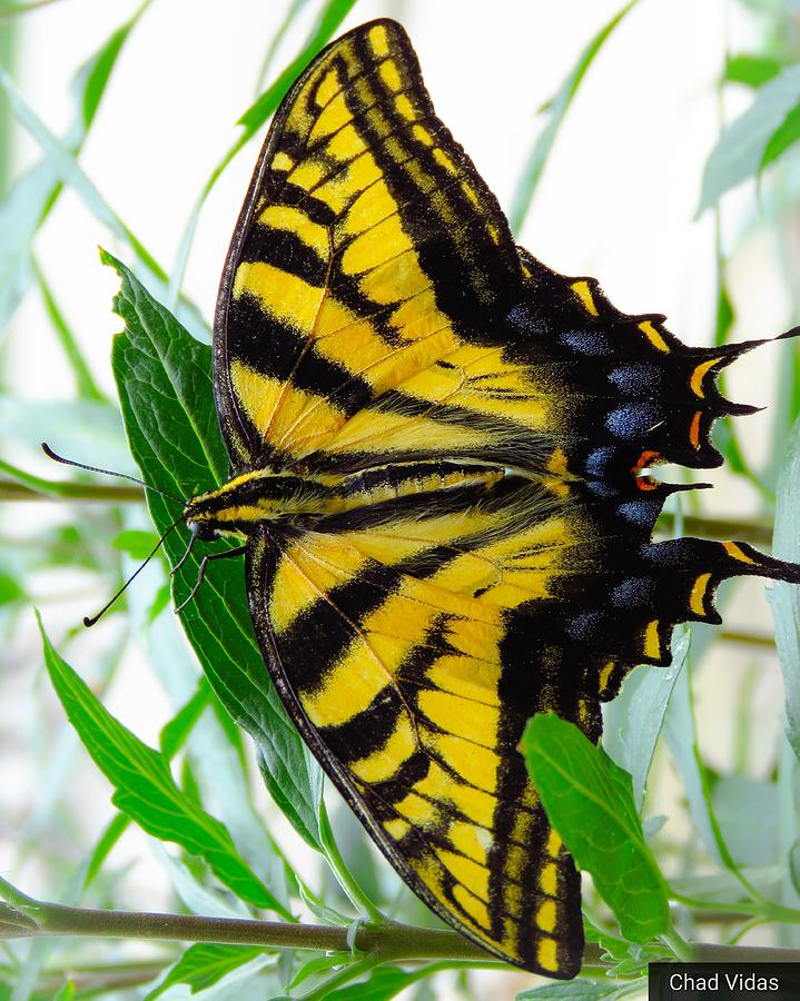 Butterfly Photograph by Chad Vidas