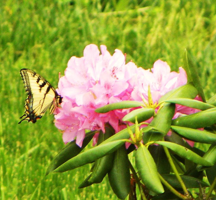 Butterfly Photograph - Butterfly by Cindy Gacha