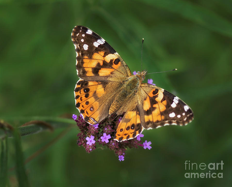 Painted Lady Photograph - Butterfly  by Claudia Kuhn