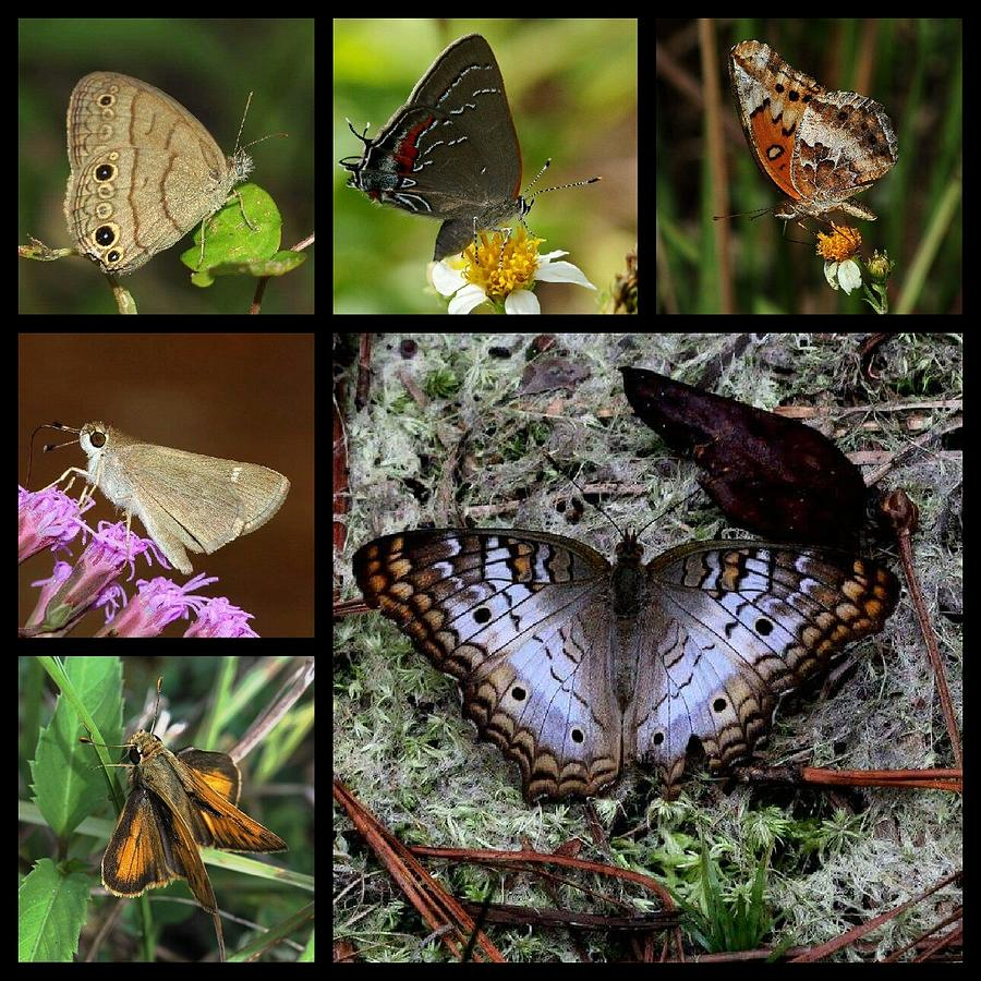 Butterfly Photograph - Butterfly Collage 1 by April Wietrecki Green