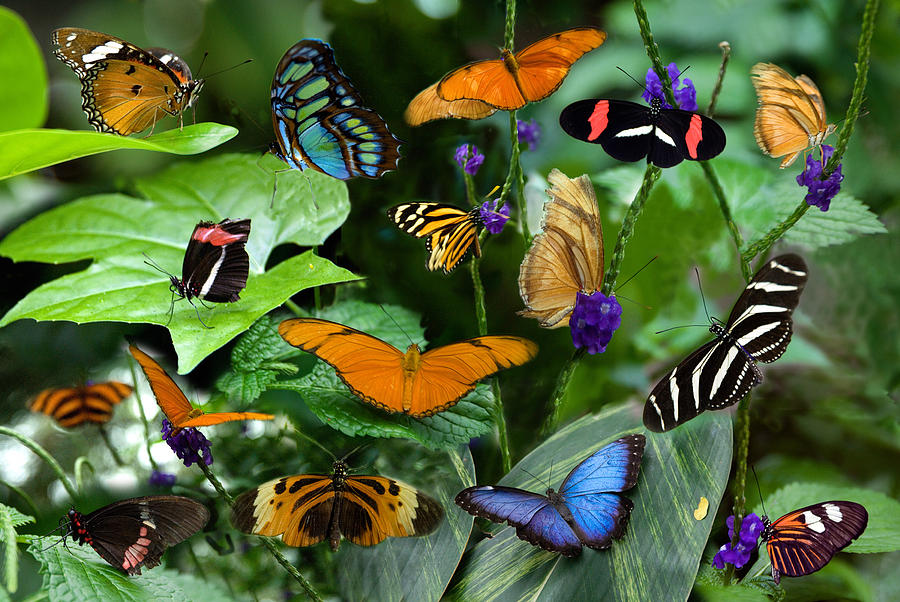 Butterflies Photograph - Butterfly Collage by Cabral Stock