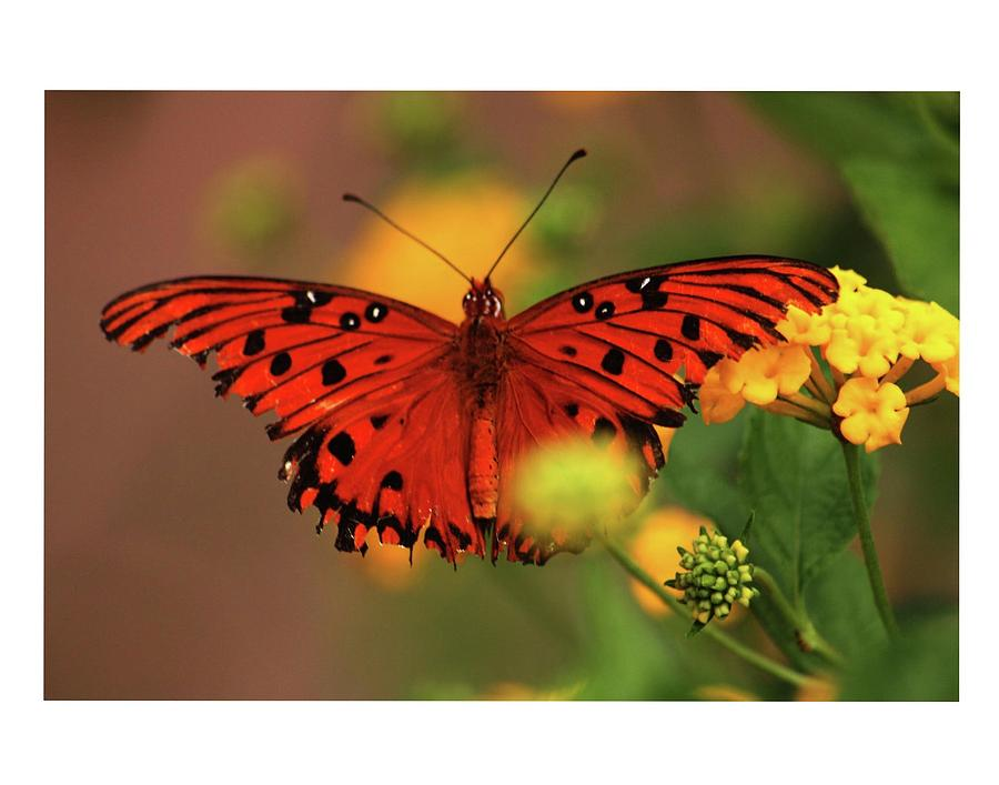Butterflies Photograph - Butterfly by Dana Flaherty