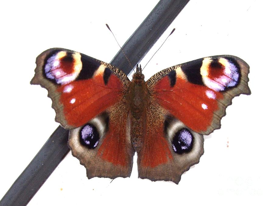 Animal Photograph - Butterfly by Deborah Brewer