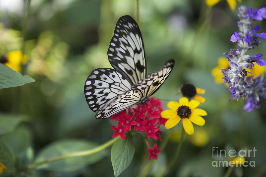 Idea Leuconoe Photograph - Butterfly Dream by Carol Groenen