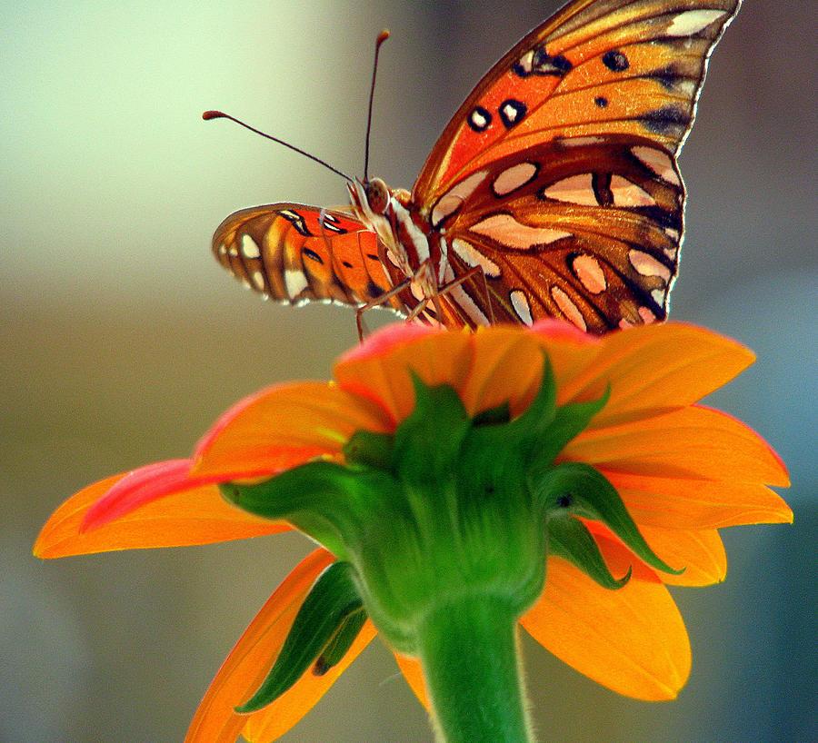 Butterfly Photograph - Butterfly Flower by Dottie Dees