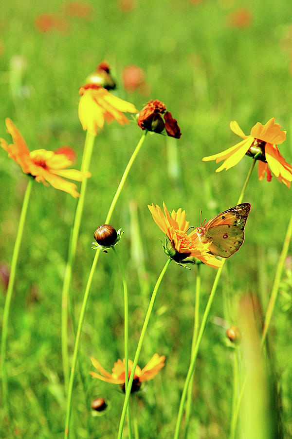Flowers Photograph - Butterfly Freedom by Toni Hopper