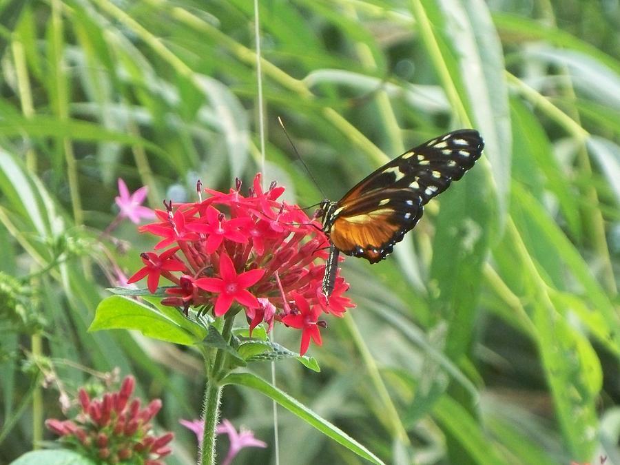 Butterflies Photograph - butterfly II by Rosanne Bartlett
