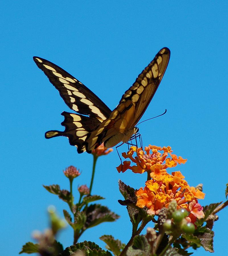 Butterfly Photograph - Butterfly II by Susan Heller
