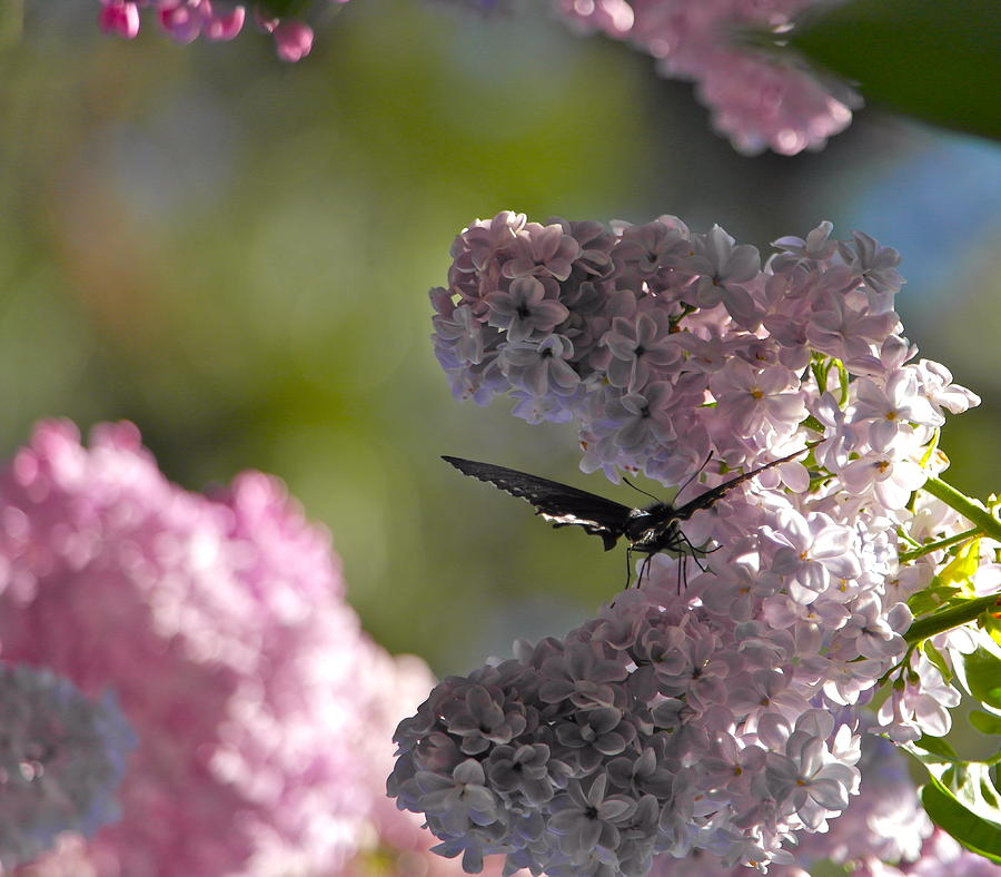 Butterfly in the Lilacs by Michele Myers