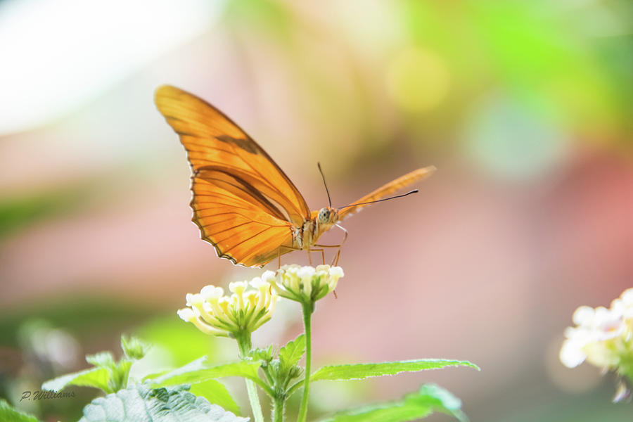 Butterfly - Julie Heliconian by Pamela Williams