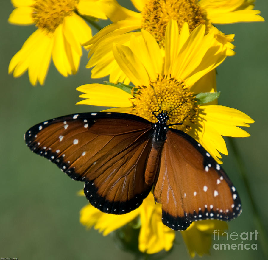 Butterfly Photograph - Butterfly Kisses by Charles Dobbs