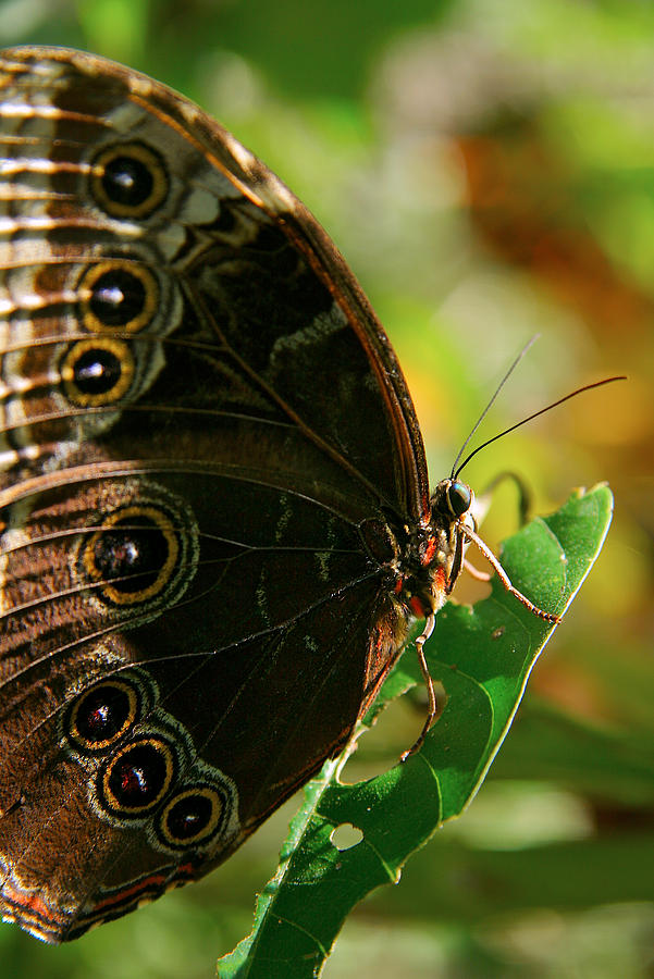 Butterfly by Lawrence Boothby