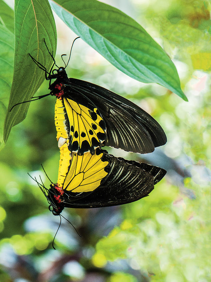 Wildlife Photograph - Butterfly Mating by William Bitman