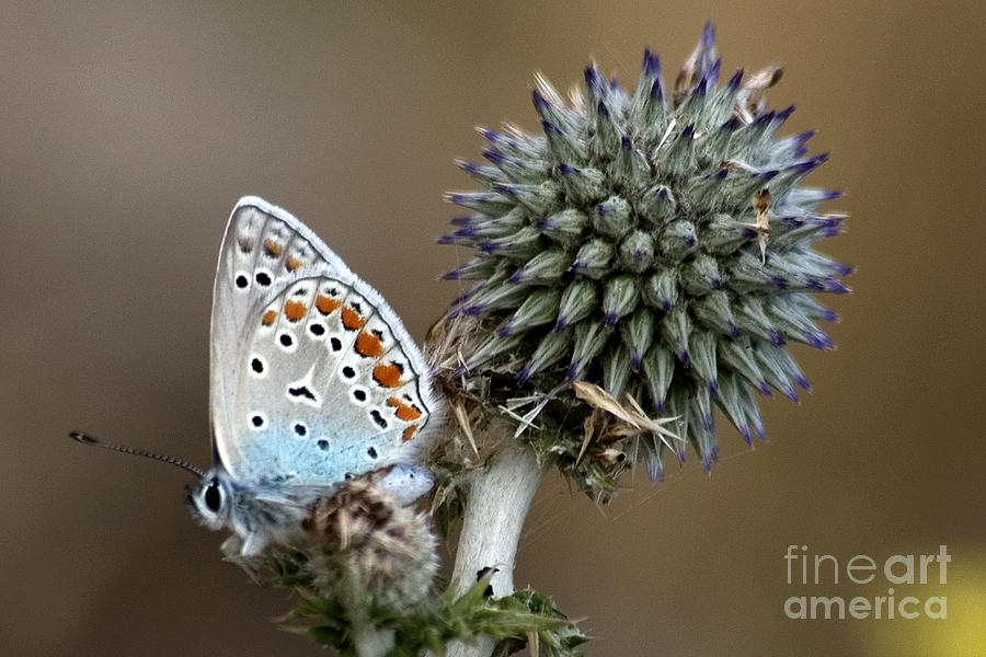 Butterfly Photograph - butterfly on a Echinops adenocaulon by Nahum Budin