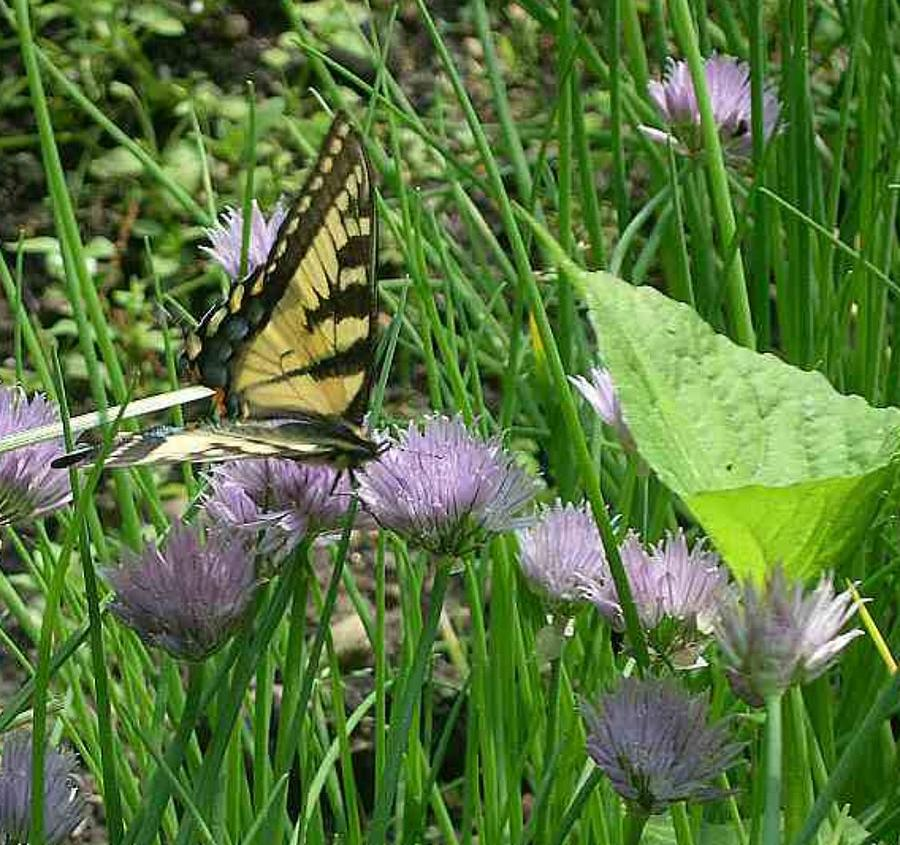 Garden Photograph - Butterfly On Chives by Rebecca Marona