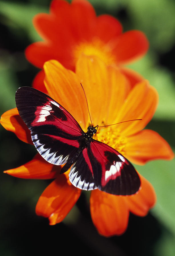 Butterfly On Flower Photograph By Natural Selection Ralph