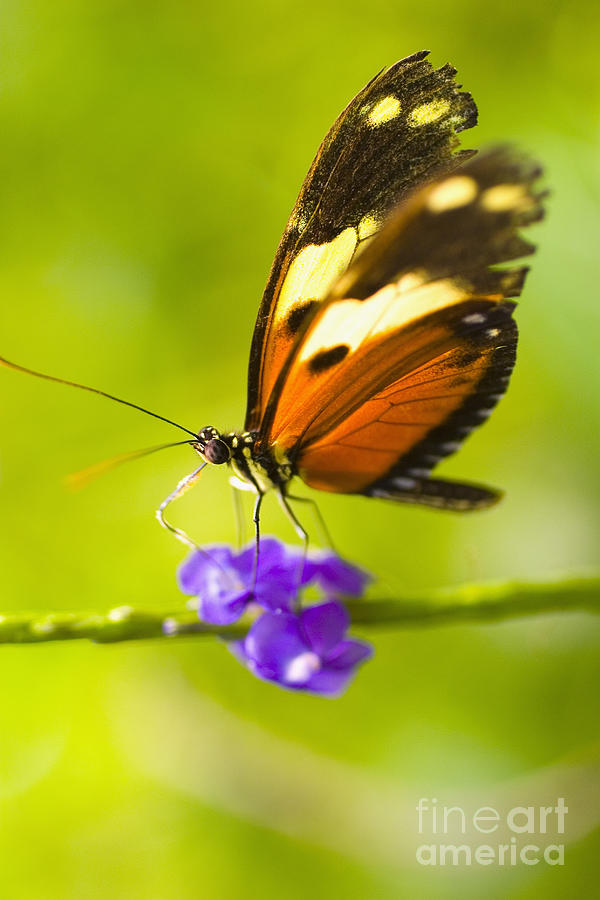 Afternoon Photograph - Butterfly On Flower by Tomas del Amo - Printscapes