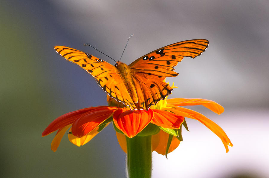 Butterfly on Flower by Willard Killough III