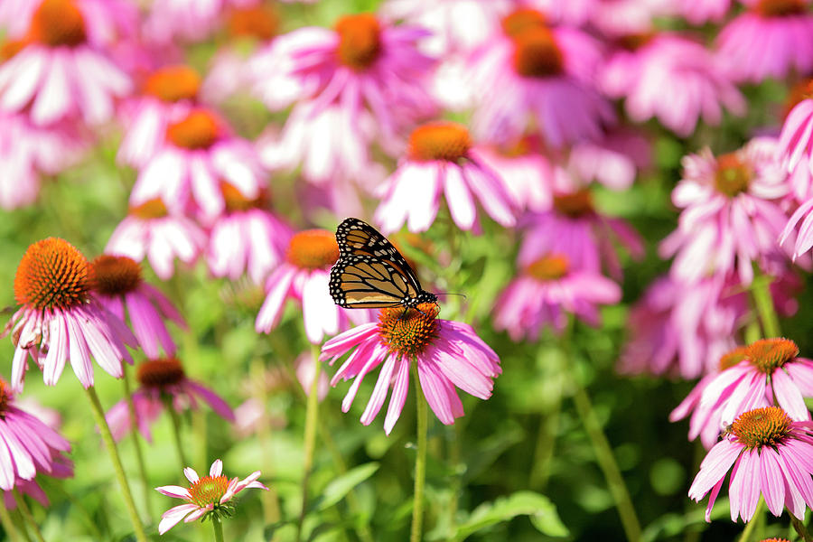 Butterfly Photograph - Butterfly On Flowers by David Stasiak