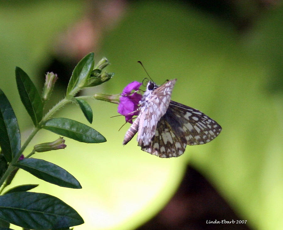 Insect Photograph - Butterfly On Heather by Linda Ebarb