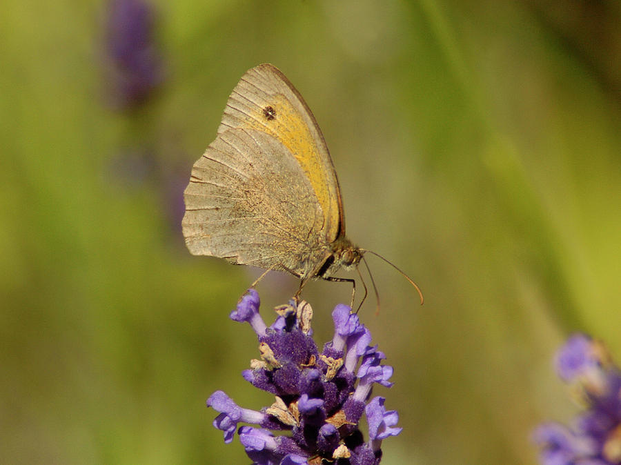 Butterfly Photograph - Butterfly on Lavander by Franz Roth