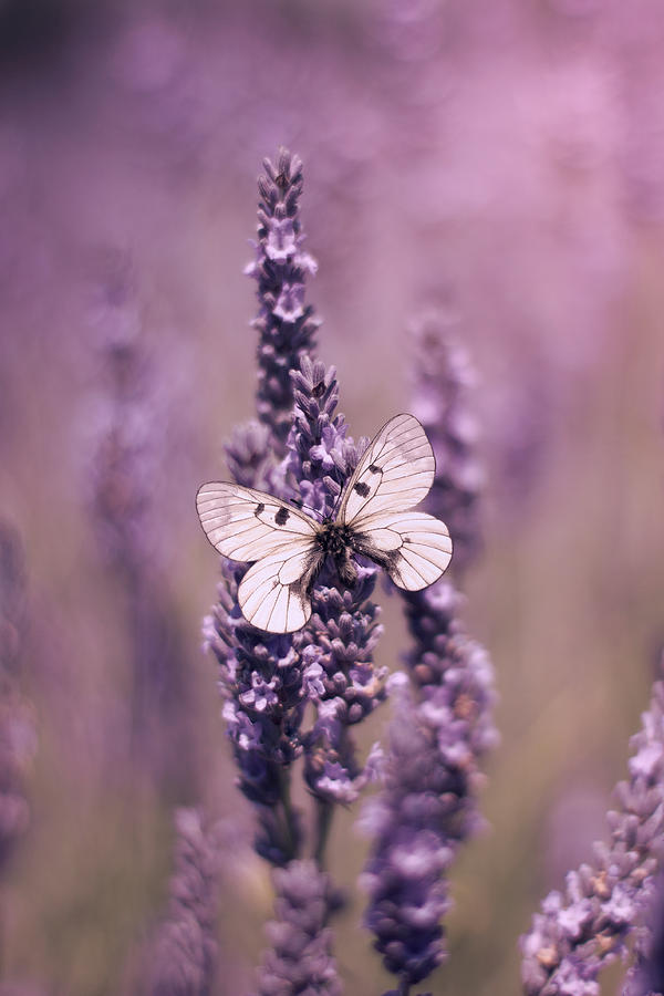 Lavender Photograph - Butterfly On Lavender by Ethiriel Photography