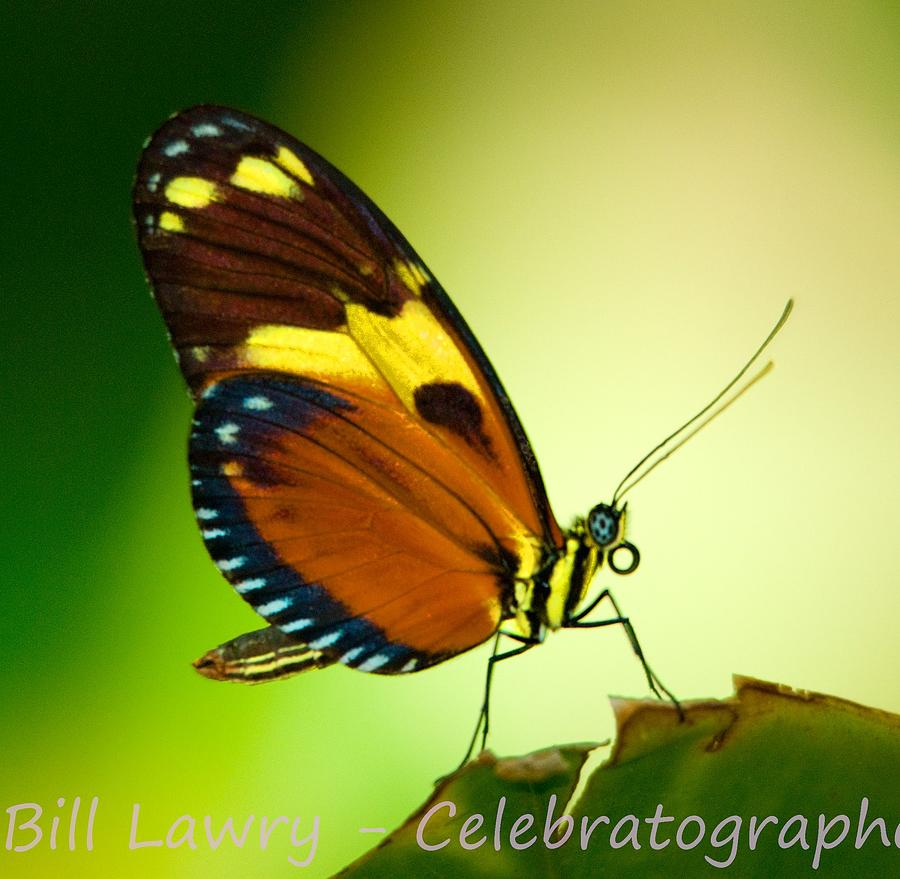 Butterfly Photograph - Butterfly On Leaf by Bill Lawry