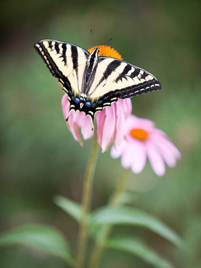 Butterfly Photograph - Butterfly On Pink Cone Flower by Rebecca Cozart
