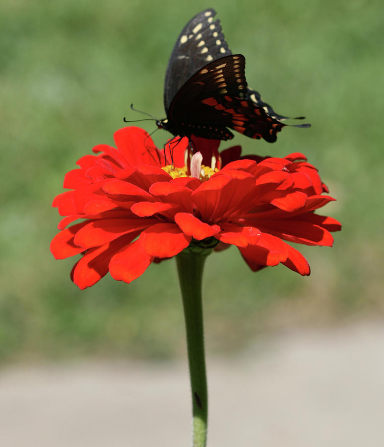 Butterfly on red zinnia by Peg Toliver