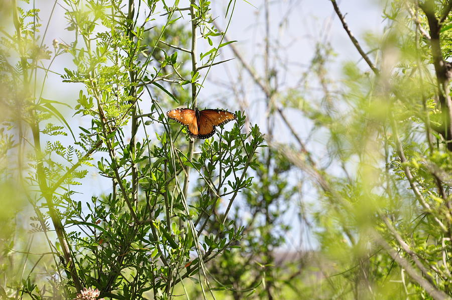 Butterfly Photograph - Butterfly On Schrub by Thor Sigstedt