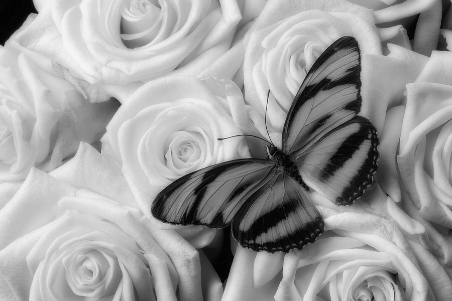 Rose Photograph - Butterfly On Soft Roses by Garry Gay