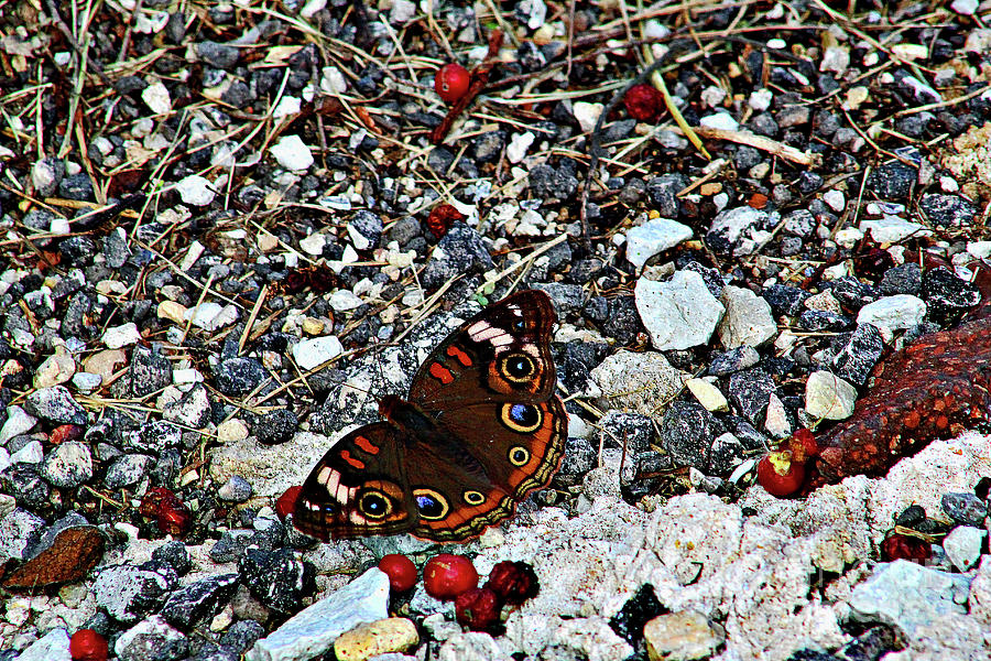 Butterfly On The Rocks Photograph