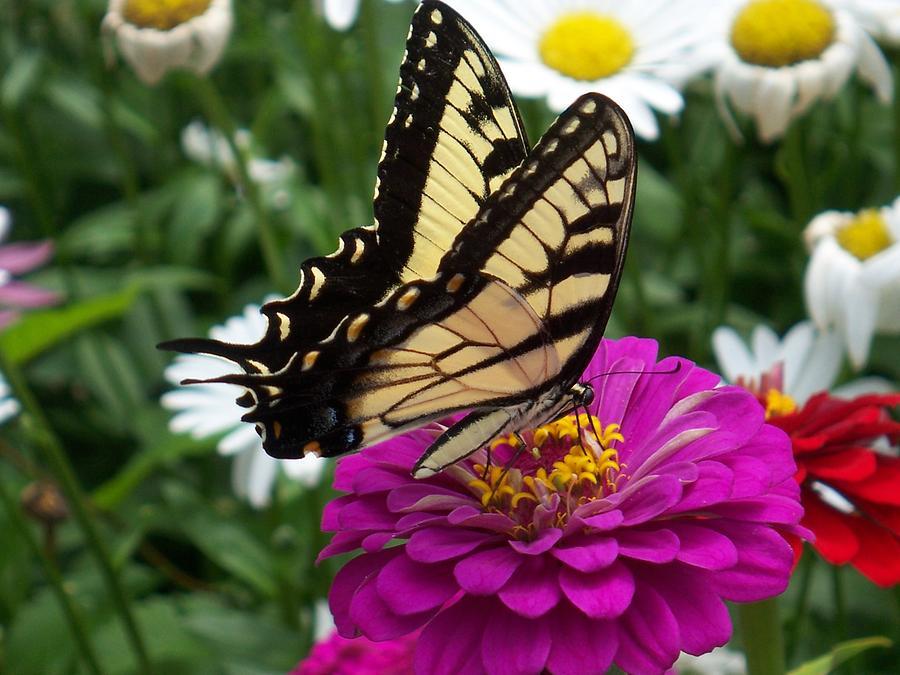 Butterfly On Flower Photograph - Butterfly on Zennia by Ellen B Pate