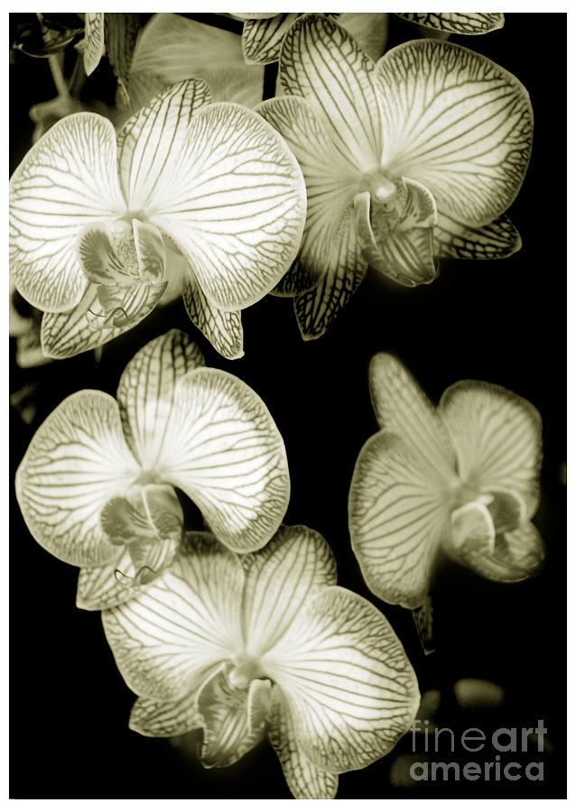 Nature Photograph - Butterfly-orchids by Son Of the Moon