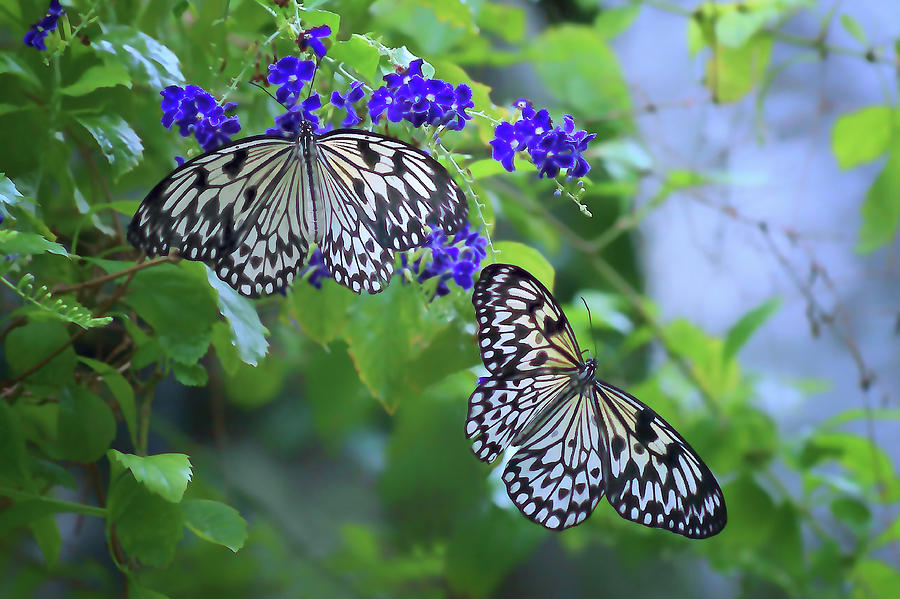 Butterflies Photograph - Butterfly Pair - Rice Paper by Nikolyn McDonald