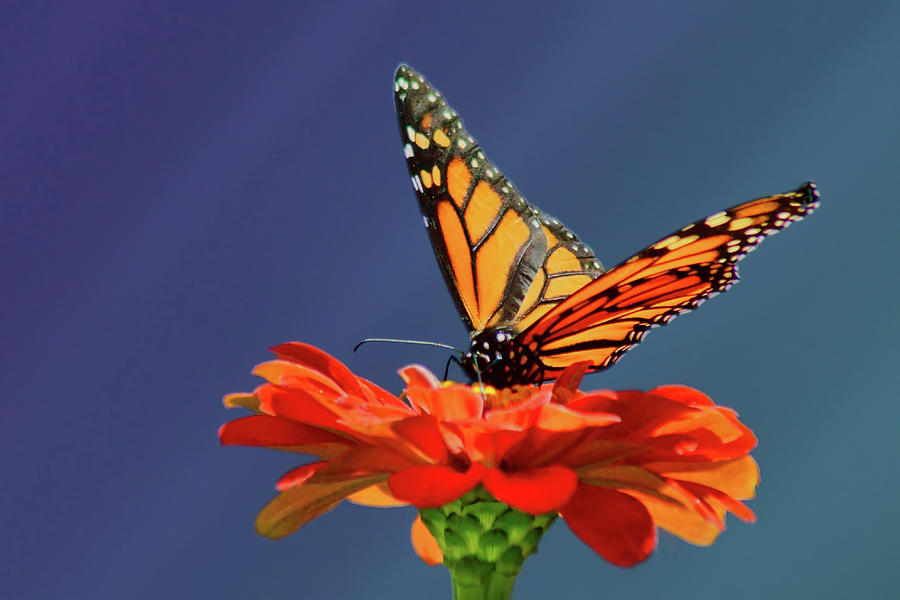 Butterfly Photograph - Butterfly Pause by Nikolyn McDonald